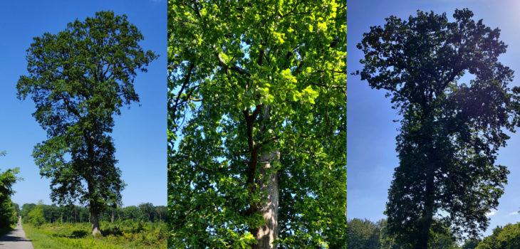 Arbre en forêt de Rennes